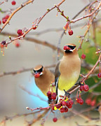 Cedar Waxwing Posters - Dinner Date Poster by Betty LaRue
