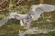 Tri Colored Heron Photos - Dinner Shuffle by Adam Jewell