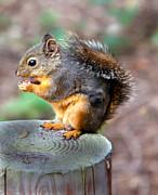 Sciurus Carolinensis Prints - Dinner Time Print by Robert Bales