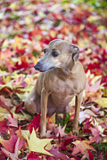 Sight Hound Photo Posters - Diva On Fall Leaves Poster by Martin Joyful