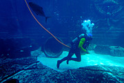 Bubbles Photos - Diver at The Dig Aquarium Atlantis Resort by Amy Cicconi