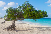 A New Focus Photography - Divi Trees in Aruba