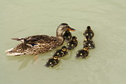 Ducklings Framed Prints - Divine Ducklings Framed Print by Linsey Williams
