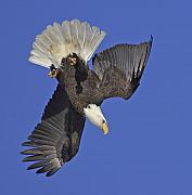 National Symbol Photos - Diving Eagle by Tim Grams