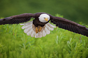 National Symbol Prints - Diving for a Meal Print by Tim Grams