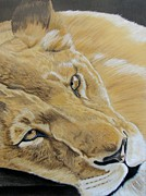 Lion Drawings Originals - Do not Disturb  by Lea Sutton