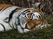 Tiger Dream Framed Prints - Do Not Disturb Framed Print by Steve Harrington