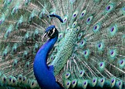 Peacock Photo Metal Prints - Do you Like Me Now Metal Print by Sabrina L Ryan