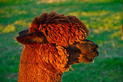 Farm Stand Framed Prints - Do you like my new haircut alpaca Framed Print by Eti Reid