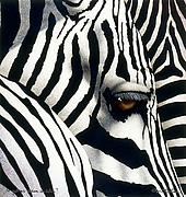 Zebras Framed Prints - do zebras dream in color? by Will Bullas Framed Print by Will Bullas