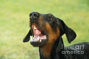 Doberman Pinscher Dog Print by John Daniels
