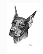 Dogs Drawings - Doberman Pinscher by Lou Ortiz