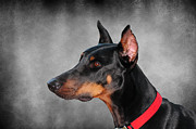 Doberman Framed Prints - Doberman Pinscher Framed Print by Paul Ward
