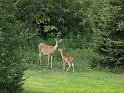Judy  Johnson - Doe and Fawn