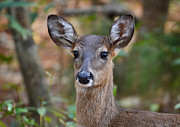 Doe Portrait Print by Kathy Baccari
