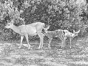 Western Pencil Drawing Posters - Doe With Twin Fawns Poster by Frank Wilson