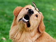 Golden Retriever Puppies Posters - Dog And Butterfly Poster by Christina Rollo