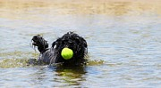 Fetching Water Prints - Dog Ball Water Print by Henrik Lehnerer