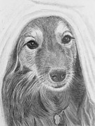 Animal Shelter Drawings - Dog in a Blanket by Jacqueline Barden