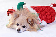 Christmas Dog Posters - Dog In Christmas Costume Poster by Charline Xia