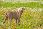 Sari ONeal - Dog in Spring Flowers