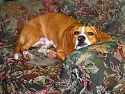 Dog - Mr. Oliver Is Comfy Print by Maureen Tillman