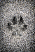 Animal Paw Print Posters - Dog paw print in sand Poster by Elena Elisseeva