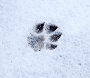Dog Paw Print Prints - Dog paw print in snow Print by Allan Bell