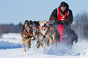 First Place Prints - Dog sledding race Print by Mircea Costina Photography