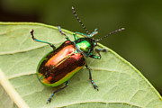 Beetle Photos - Dogbane Beetle by Clarence Holmes
