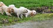 Maltese Dog Posters - Dogs at the Pond Poster by Lisa  DiFruscio