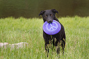 Black Lab Photos - Dogs For Peace Too by James Bo Insogna