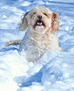 Maltese Dog Posters - Dogs Love The Snow Poster by Lisa  DiFruscio