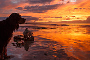 Gordon Setter Art Posters - Dogs on the sunset beach Poster by Izzy Standbridge
