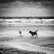 Fanore Photo Framed Prints - Dogs playing on the beach Framed Print by Kathleen Smith
