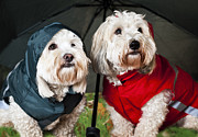 Clothing Framed Prints - Dogs under umbrella Framed Print by Elena Elisseeva