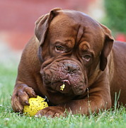 Oscar Menezes - Dogue de Bordeaux