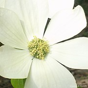 Dogwood 1 Print by Janet Berch