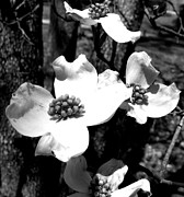 Burgeon Prints - Dogwood 3 Print by Andrea Anderegg