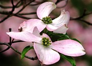 Tree Blossoms Prints - Dogwood A Gift Of Spring Print by Angela Davies