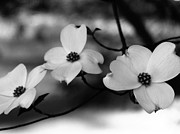 Thrive Framed Prints - Dogwood Black and White Framed Print by Andrea Anderegg