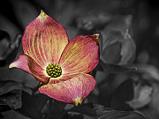 Ron Roberts Photography Posters - Dogwood Bloom Poster by Ron Roberts