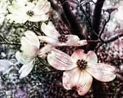 Melissa Bittinger - Dogwood Blooms Surreal