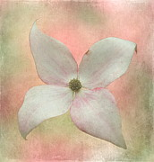 Dogwood Blossom Framed Prints - Dogwood Blossom Framed Print by Angie Vogel
