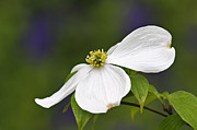 Bracts Prints - Dogwood Blossom - D001797 Print by Daniel Dempster