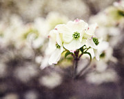 Lisa Russo Prints - Dogwood Blossom Print by Lisa Russo