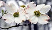 Eva Thomas - Dogwood Blossoms after a...