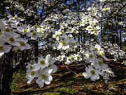 Ginette Fine Art Llc Ginette Callaway Framed Prints - Dogwood Blossoms Along the Towaliga River Georgia Framed Print by Ginette Callaway
