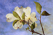 Tree Leaf Digital Art Posters - Dogwood Blossoms and Blue Sky - D007963-b Poster by Daniel Dempster