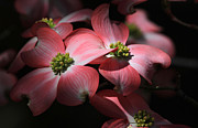 Dogwood Blossoms Print by Donna Kennedy